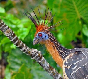Hoatzin_-_Close_up